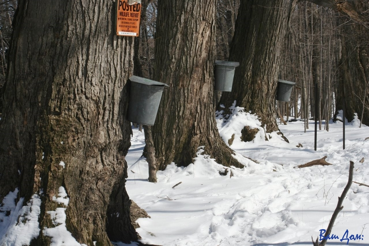 кленовый сироп Maple_sap_buckets_-_Beaver_Meadow_Audubon_Center